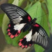 Румянцева живая бабочка