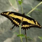 Тоас живая бабочка