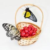 2 живые тропические бабочки в плетенной корзинке