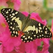 Демолеус живая бабочка