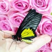 Птицекрылка живая бабочка