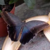 Калиго живая бабочка