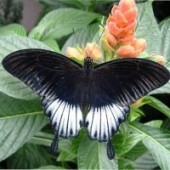 Ласточкин хвост живая бабочка