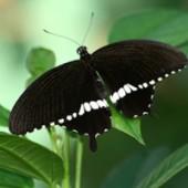 Мормон живая бабочка