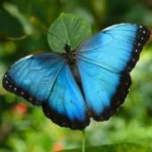 Морфо живая бабочка